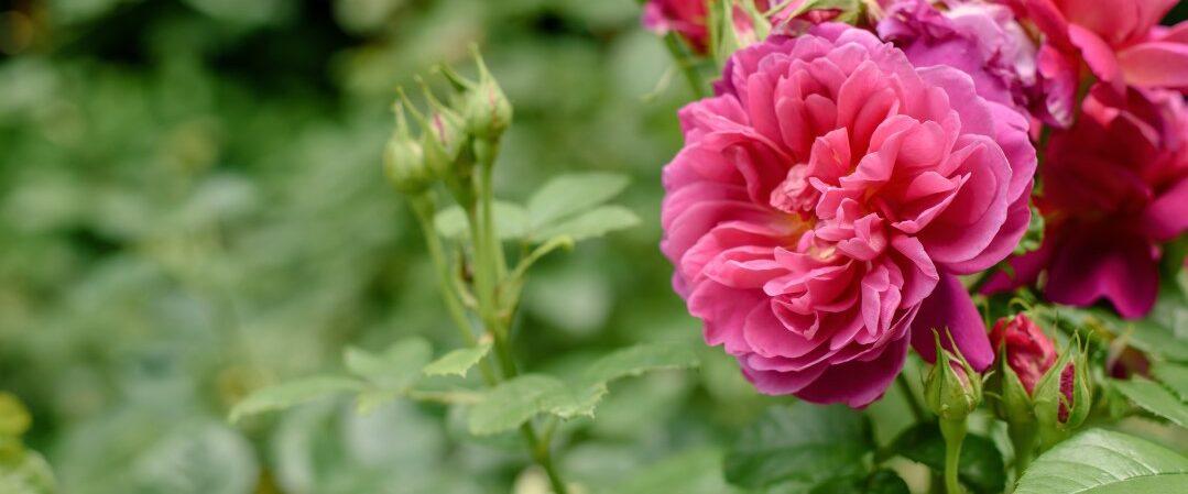 A close-up photograph of a pink flower.