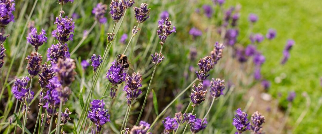 A photograph of a mass of small, purple flowers.